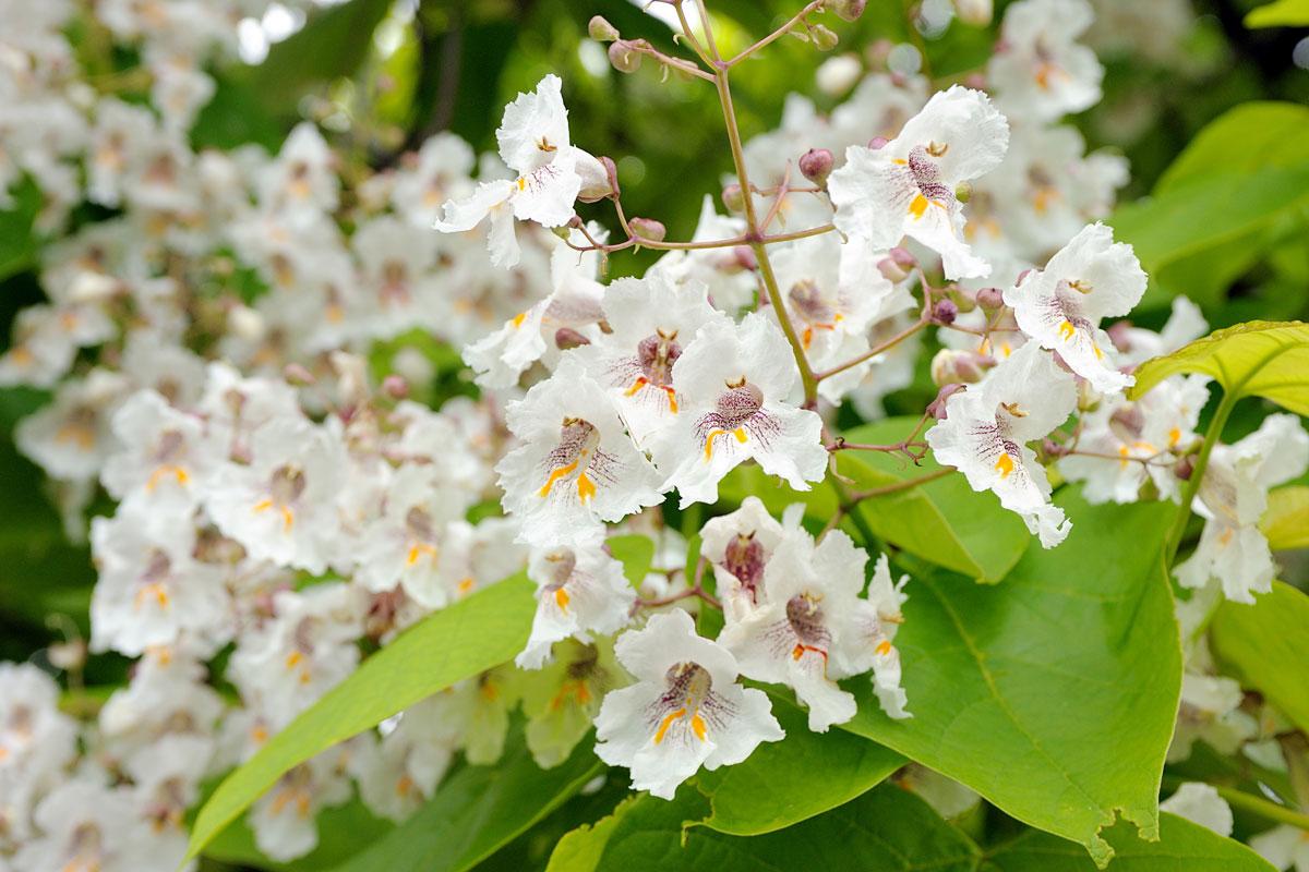 Albero Con Fiori Bianchi catalpa | l'albero che regala l'ombra e allontana le zanzare