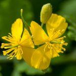 Celidonia | Fiori gialli e ideale nella lotta alle verruche