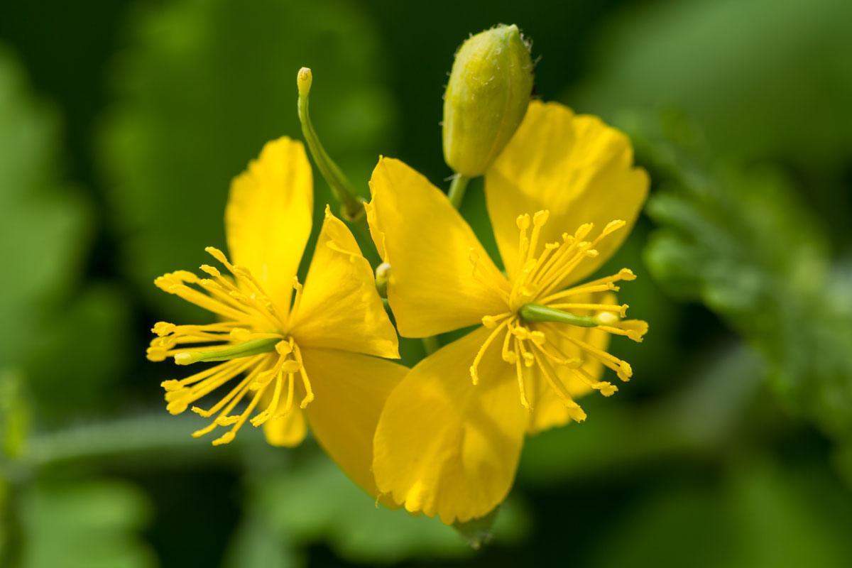 Celidonia fiori gialli e ideale nella lotta alle verruche - Lotta alle talpe in giardino ...