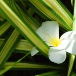 Chlorophytum | Pianta d'appartamento o da aiuola: varietà e coltivazione