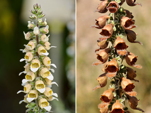 digitalis velenose