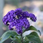 Eliotropio | Ecco come coltivare il fiore di vaniglia