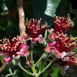 Eucalipto | Le varietà e l'olio essenziale: cosa c'è da sapere