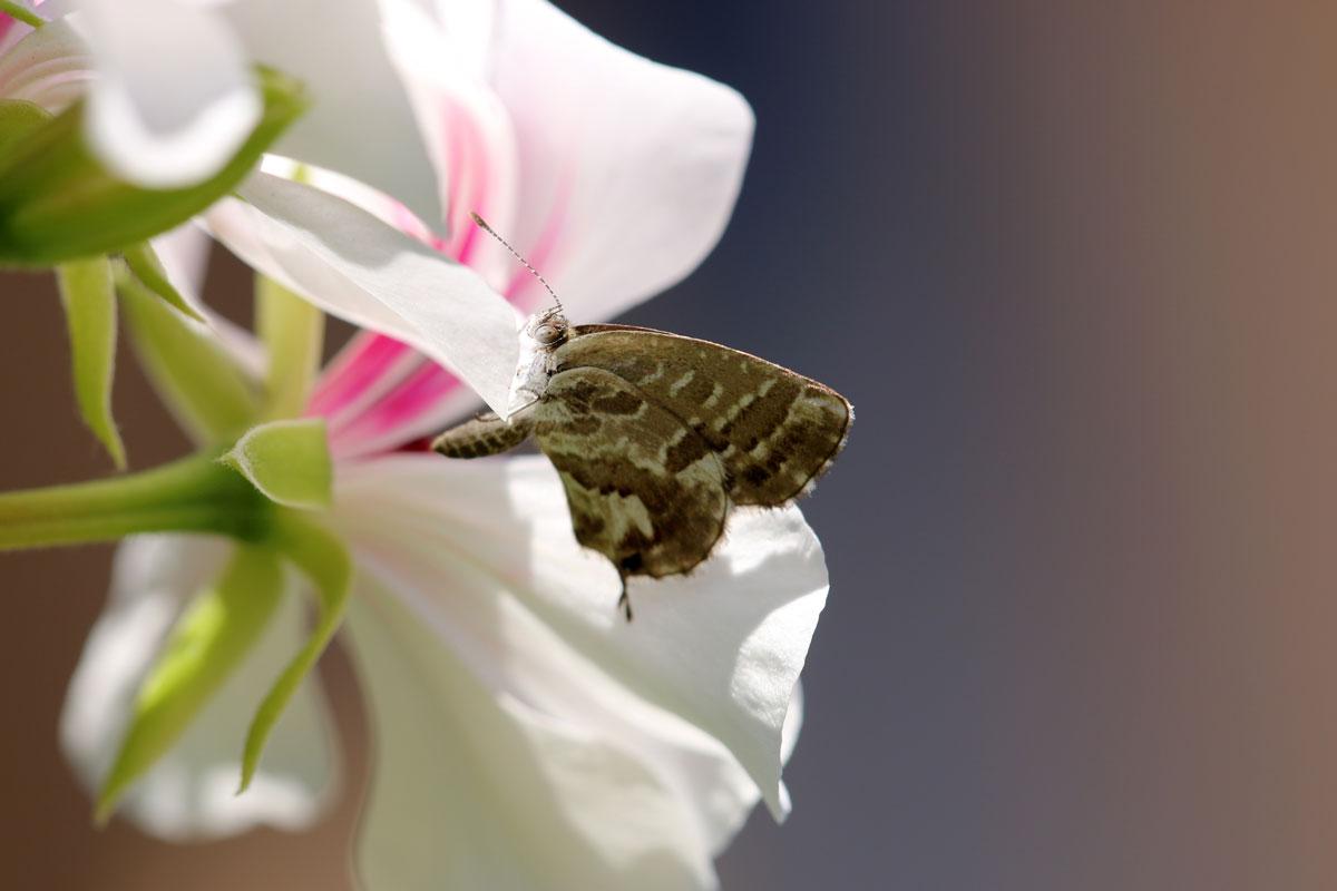 La farfallina nemica dei gerani | Protect.