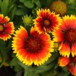 Gaillardia | La pianta rustica che non teme la siccità