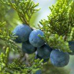 Ginepro | La conifera più facile da coltivare: struttura e proprietà