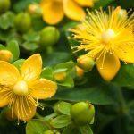 Iperico | L'olio portentoso, le proprietà e la coltivazione
