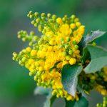 Mahonia | Una pianta tutta da scoprire