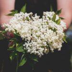 Sambuco | I fiori, le bacche, gli utilizzi: ecco come coltivarlo