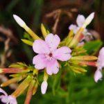 Saponaria | Ideale per bordure e giardini rocciosi: varietà e coltivazione