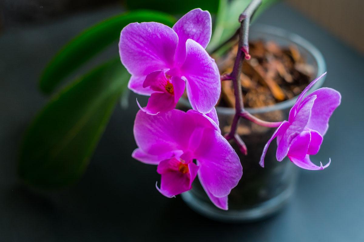 Semi di orchidea perch non si acquistano for Semi orchidea