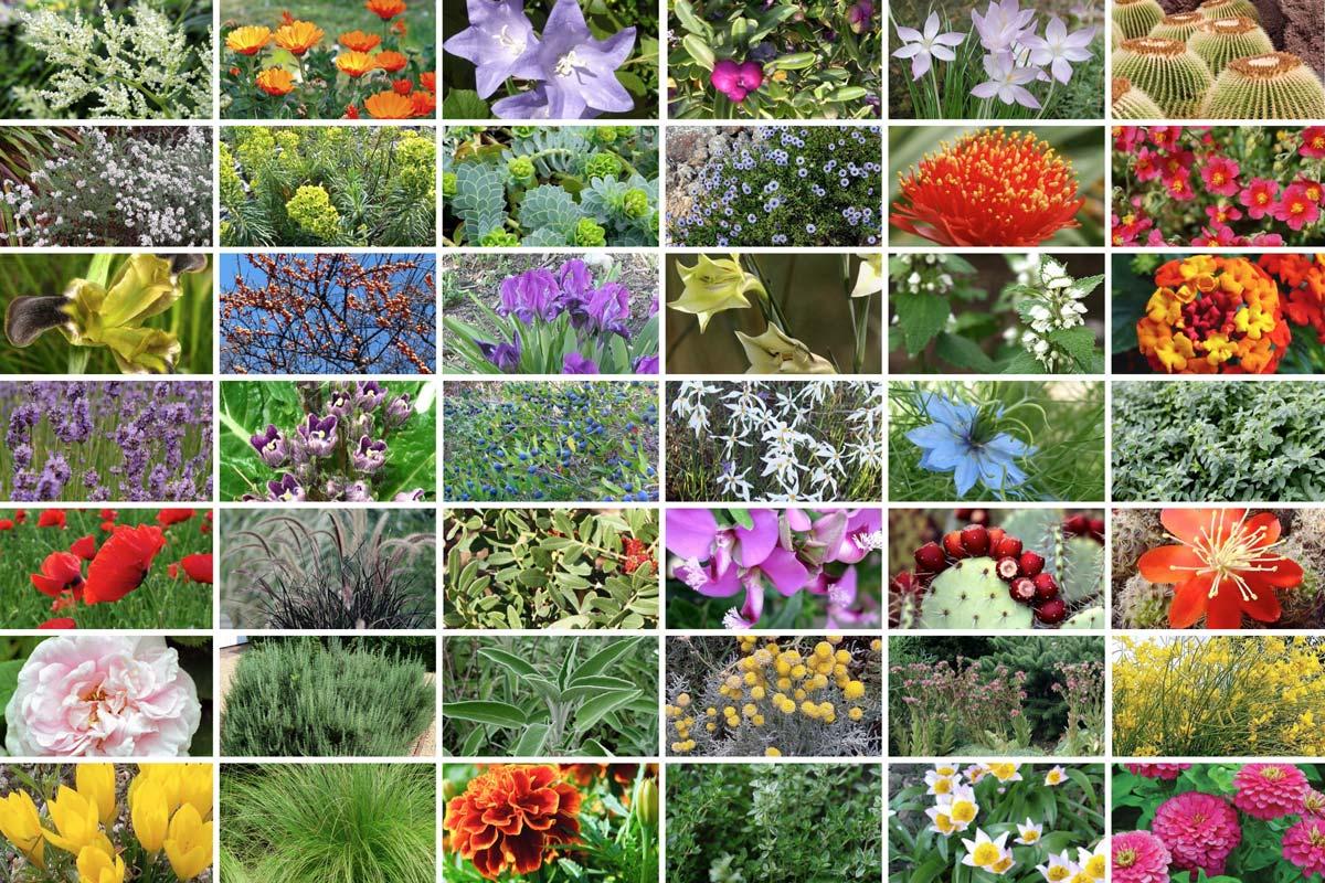 Fiori Da Giardino In Montagna 42 piante che non temono la siccità - faidateingiardino