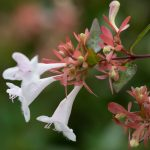 Abelia | Delicati fiori a trombetta, ottima per siepi informali