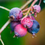 Amelanchier | Rustico esemplare da giardino, dolci bacche nere