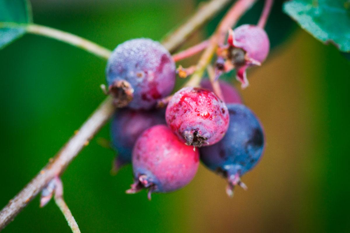Albero Con Bacche Rosse amelanchier | rustico esemplare da giardino, dolci bacche nere