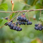 Aronia | Arbusto cespuglioso, belle bacche rosse o nere: usi e coltivazione