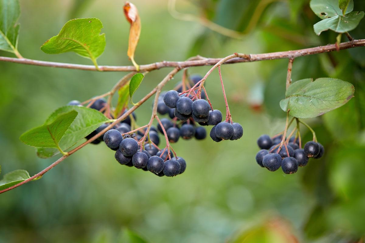 Albero Con Bacche Rosse aronia | arbusto cespuglioso, belle bacche rosse o nere: usi