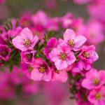 Boronia | Fiori australiani di facile coltivazione