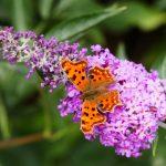Buddleja | L'Albero delle farfalle: la coltivazione