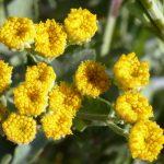 Erba di San Pietro | Facile da coltivare, utile in cucina e medicina