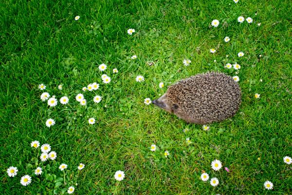 Riccio europeo perch il suo incontro in giardino pu essere utile - Riccio in giardino ...