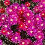 Mesembriantemo   Sgargianti fiori che trionfano in estate