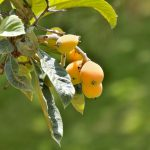 Nespolo del Giappone | Struttura, coltivazione, foglie e frutti