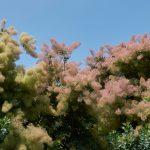 Scotano | L'Albero della nebbia: ecco come coltivarlo