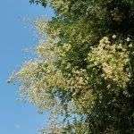 Sophora japonica | Bella varietà ornamentale dalle importanti proprietà