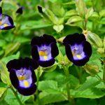 Torenia | Pianta multicolor ideale per bordure e cestini pensili