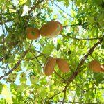 Akebia quinata, rampicante molto veloce | Coltivazione