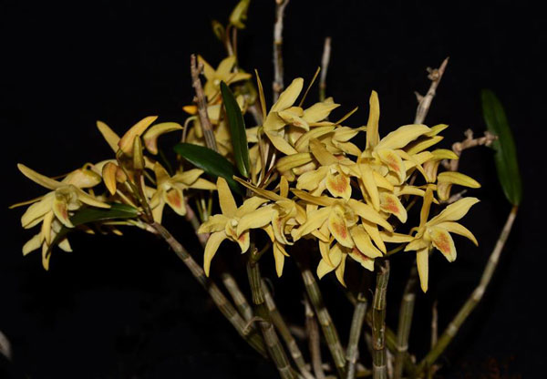 Dendrobium Moniliforme