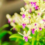 Orchidea Dendrobium | L'orchidea bamboo