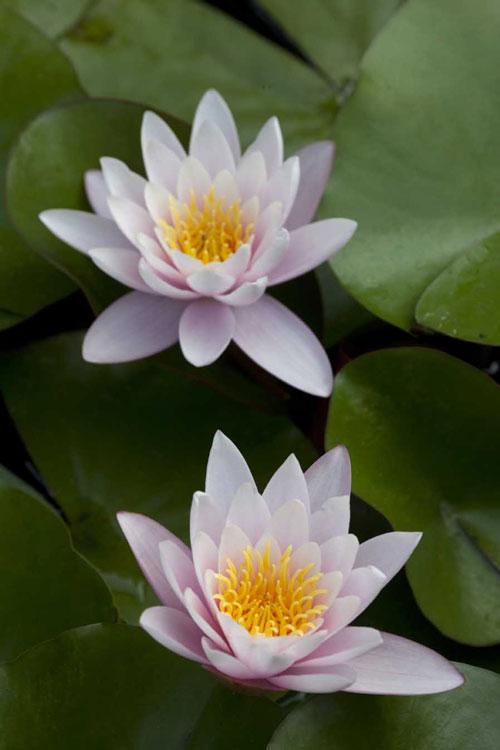 Giardini di villa della pergola in agosto tanti fiori for Fiori di agosto