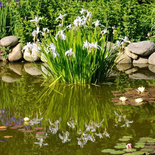iris acquatici
