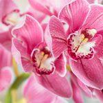 Phalaenopsis l'orchidea più resistente