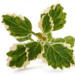 Plectranthus | La pianta dell'incenso