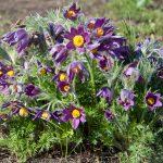 Pulsatilla vulgaris | Anemone pulsatilla, il fiore di Pasqua