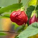 Abutilon | L'Acero da fiore: come si coltiva?