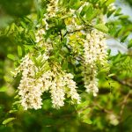 Acacia | Robinia pseudoacacia