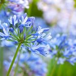 Agapanthus | Romantici fiori a palla dell'agapanto