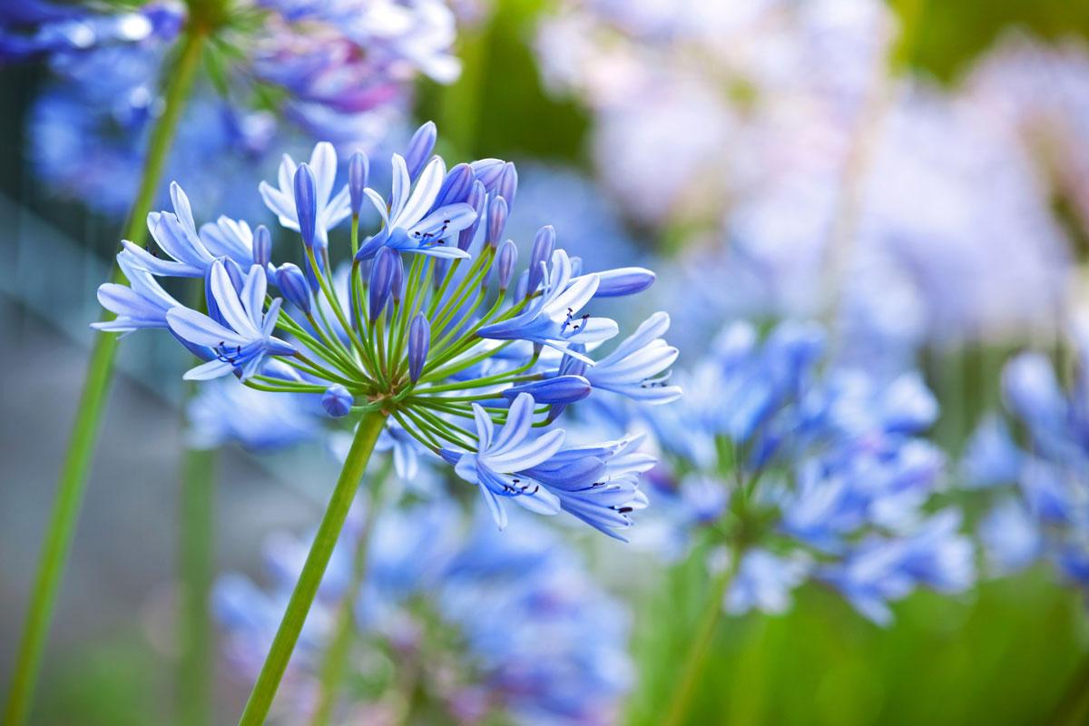 Agapanthus Foglie Gialle agapanthus | romantici fiori a palla dell'agapanto