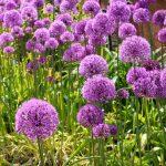Allium Giganteum | I grandissimi fiori dell'aglio gigante