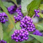 Callicarpa | Belle bacche violacee che persistono in inverno