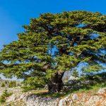 Cedro del Libano | Come coltivarlo e propagarlo