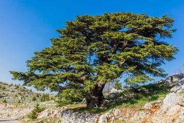 cedro del libano