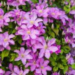 Clematide rampicante | Velenosa, fiorisce dalla primavera all'autunno
