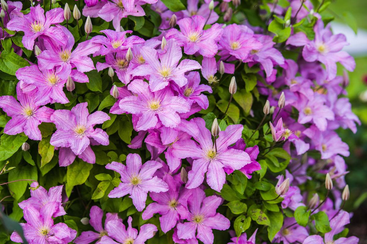 Piante Che Fioriscono Tutta Estate clematide rampicante | velenosa, fiorisce dalla primavera