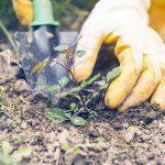 Come riprodurre le rose tramite propaggine e margotta