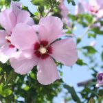 Ibiscus | Rosa-Sinensis e Syriacus le varietà più amate